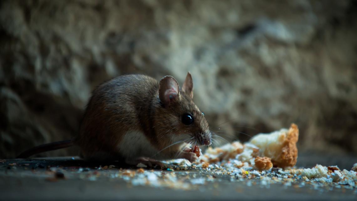 Indul az egér és patkányinvázió: ezekkel a módszerekkel védheted meg az otthonod