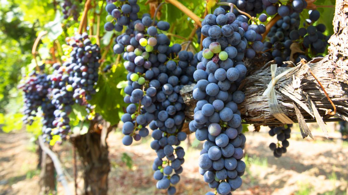 Több mint 10 milliárd a szőlőkre: így juthatnak az ingyen pénzhez a gazdák