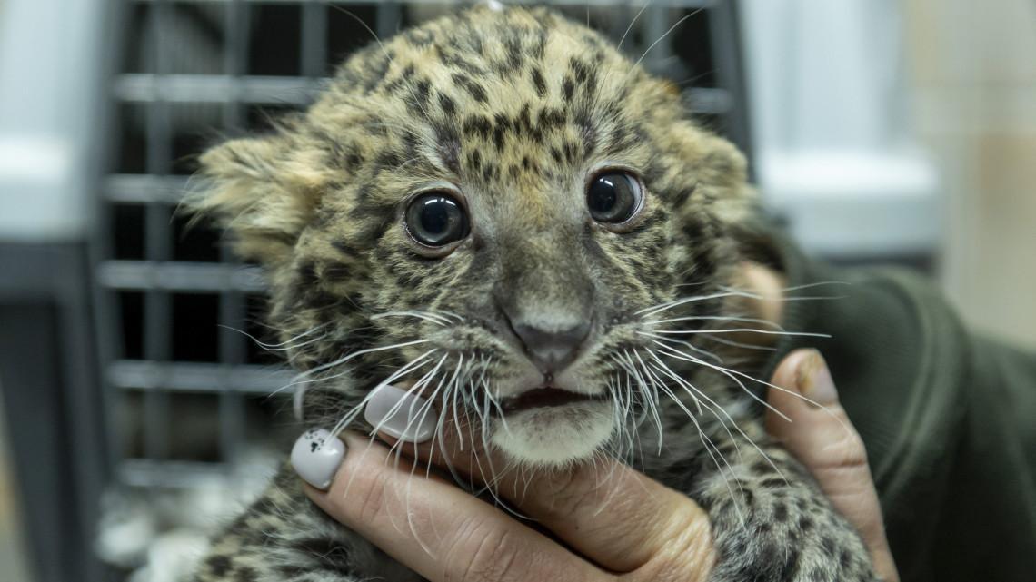 Őrületesen cukik a magyar állatkertben született leopárdok: videó készült róluk
