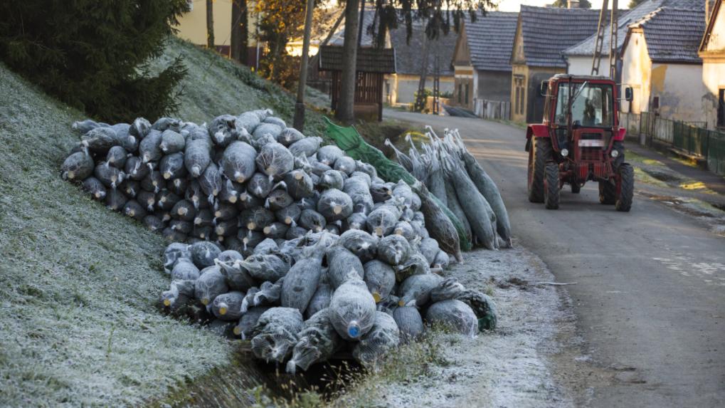 Elkezdődött: itt vágják ki a legtöbb karácsonyfának szánt fenyőt Magyarországon