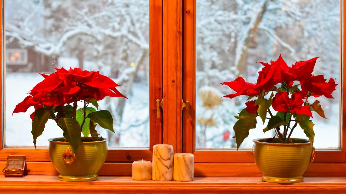 Kiderült a titok a tűzpiros mikulásvirágról: így élheti túl az ünnepet a karácsony slágervirága