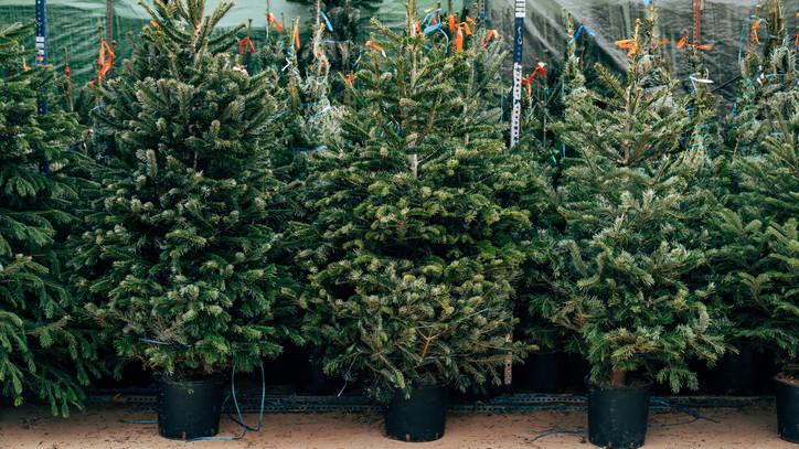Elkapkodták a fenyőket a csongrádi községben: idén karácsonykor mindenki kölcsönzi a fákat?