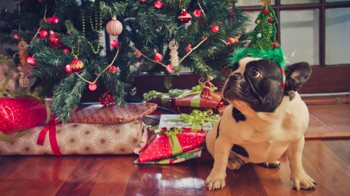 Kutyások, macskások, figyelem! Ezek a karácsonyi növények mind mérgezőek