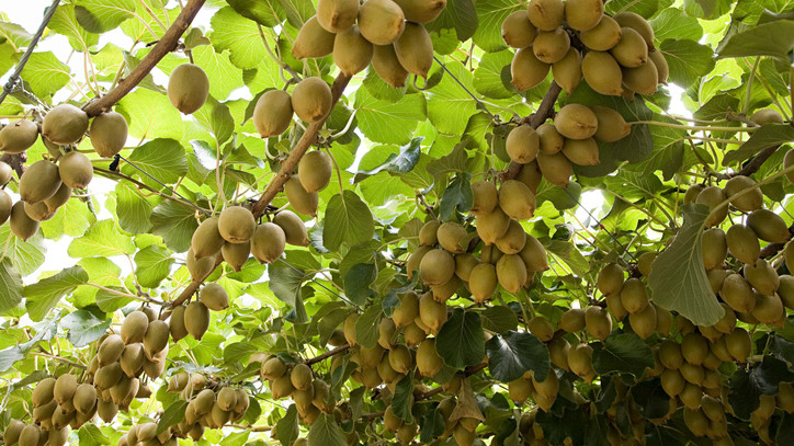 Elárulta titkát a tiszavasvári kivitermesztő: így hoz bőséges termést egzotikus gyümölcslugasa