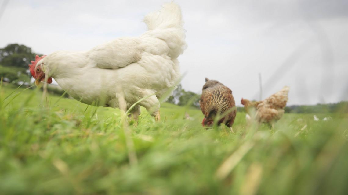 Elképesztő: omega-3 tojást tojó tyúkokat nevelnek a magyar egyetemen
