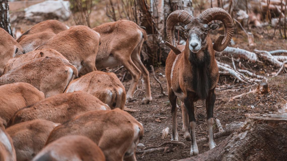Különleges állatok bandáztak a magyar erdőben: a csoportos vonulásról videó is készült