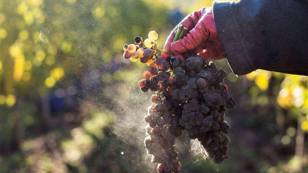 Kiállták a válság próbáját: minden idők legjobb tokaji aszújával rukkolt elő a magyar borászat