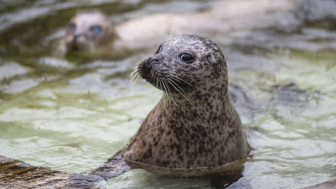 Hihetetlenül aranyos borjúfóka-párt adományozott a Nyíregyházi Állatpark: itt lesz az új lakhelyük