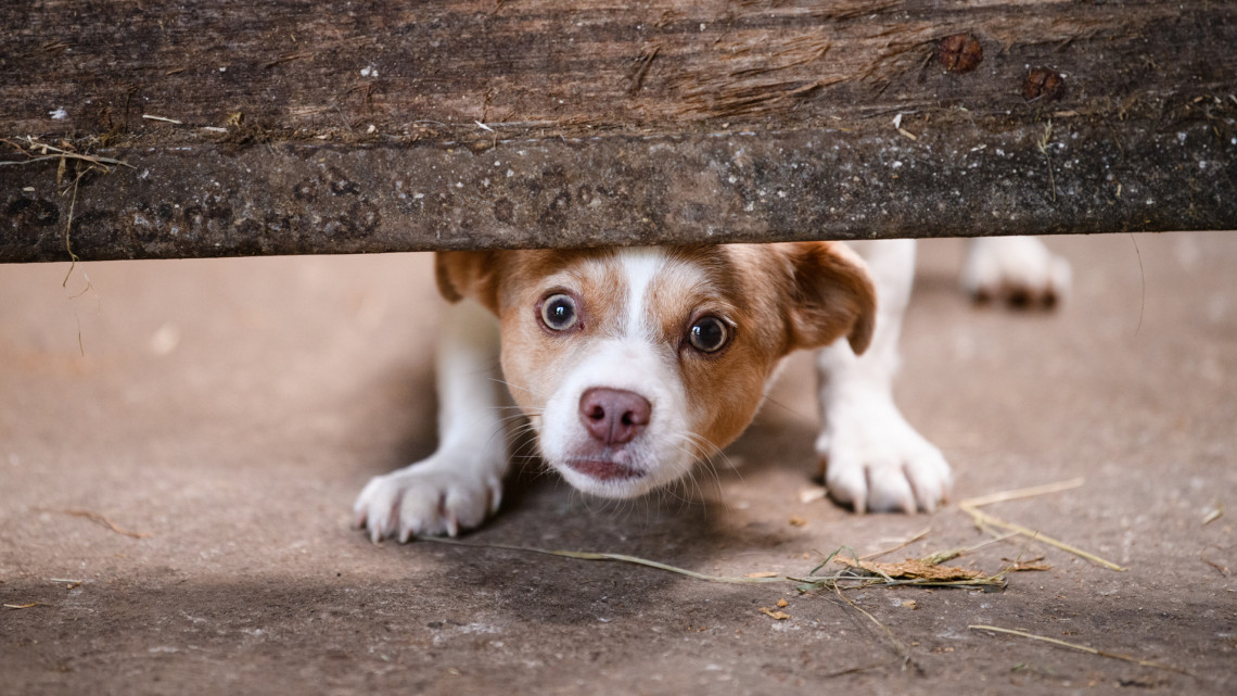Rengeteg kutya futott világgá most szilveszterkor is: 10-ből 8 jellemzően vidéken