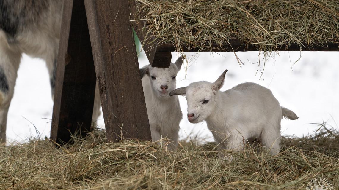 Robbant a cukiságbomba: hófehér kecskegida-ikrek születtek a Debreceni Állatkertben