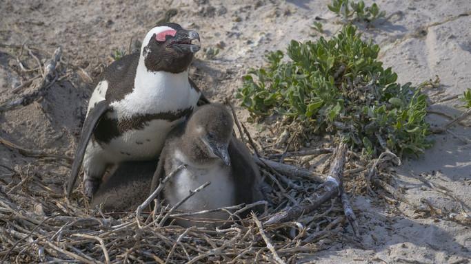 Új lakóval bővült a vadaspark: pápaszemes pingvinfióka látott napvilágot Szegeden