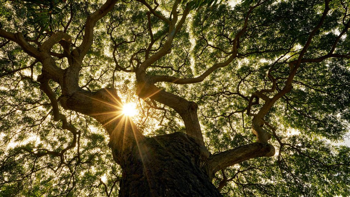 10 ősöreg fa, amit látnod kell: elképesztő szépek a magyar vidék élő matuzsálemei