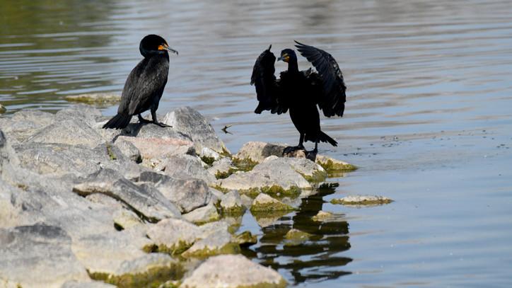 Brutális pusztítást végeznek ezek a madarak a Balatonnál: nagyon durván elszaporodtak