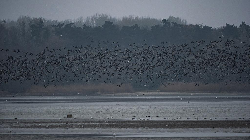 Kiderült a rejtély: egyik napról a másikra 55 ezer vadlúd tűnt el az Öreg-tóról