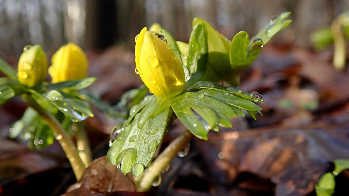 Kidugta fejét a tavasz első hírnöke: idén szokatlanul korán virágzik a téltemető