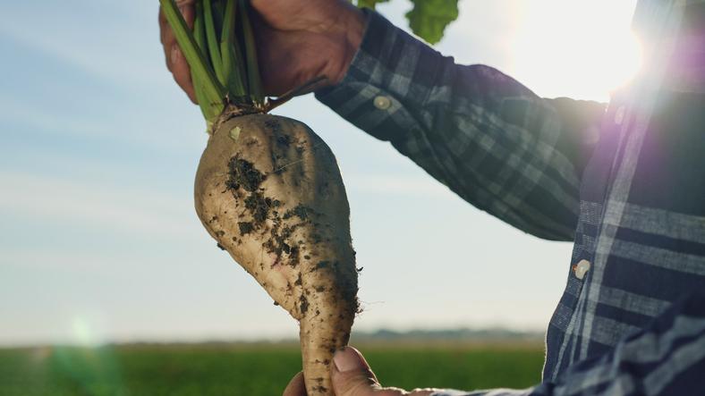 Betett az időjárás a cukorrépa termesztőknek: közepes hozammal zárták a szezont a magyar gazdák