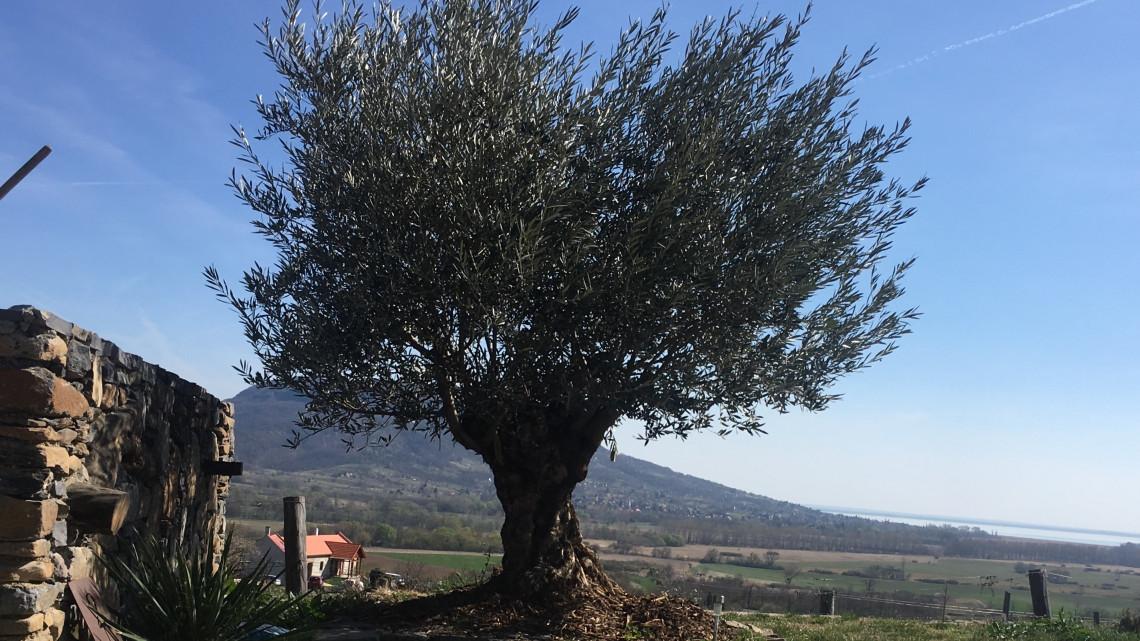Elkészült az első magyar olívaolaj: teljesen bio, a Balatonnál sajtolják