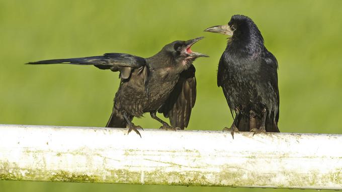 Ellepték a varjak Nógrád megye városait: dühösek a lakosok, nagy piszkot csinálnak a madarak