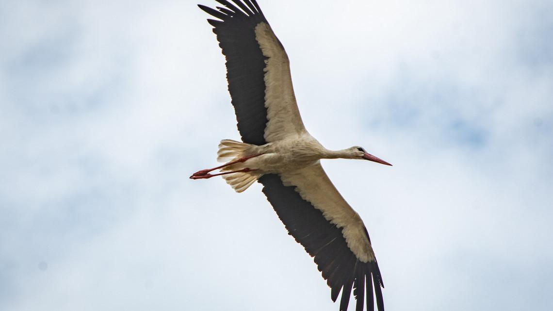Megható: a helyiek így gondoskodnak Suriról, a túl korán érkezett fehér gólyáról