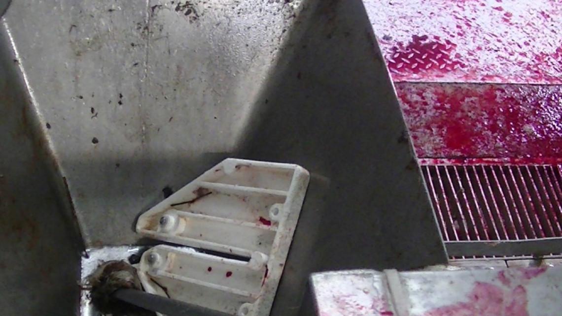 Borzalmas állapotok a vidéki vágóhídon: videón, ahogy lecsap rá a Nébih