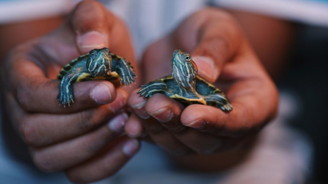 Itt a bizonyíték: télen sem lustálkodnak a vidéki állatkert sarkantyús teknősei