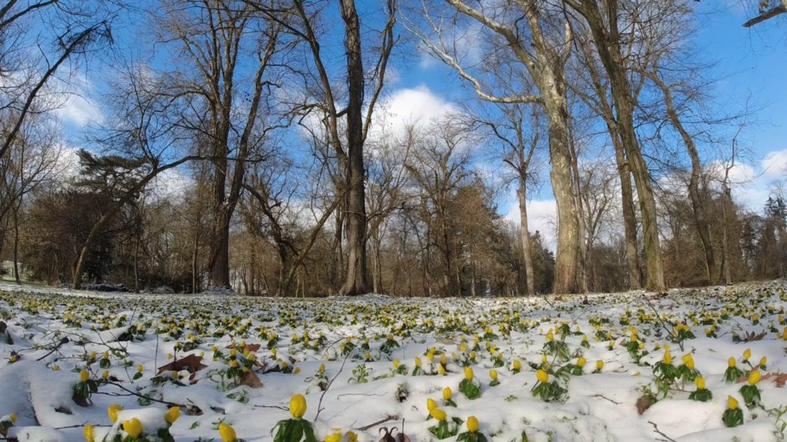 Ennél szebbet ma még nem láttál: így virágzik a hóban a téltemető + videó