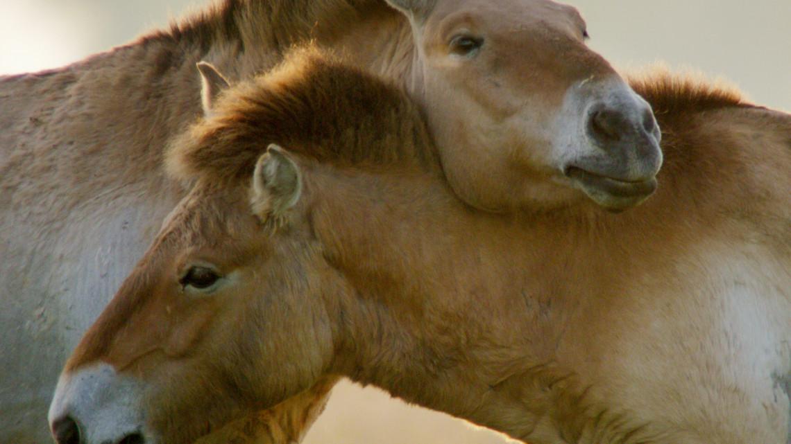 Hihetetlenül látványos filmet forgattak a hortobágyi vadlovakról: itt az előzetese