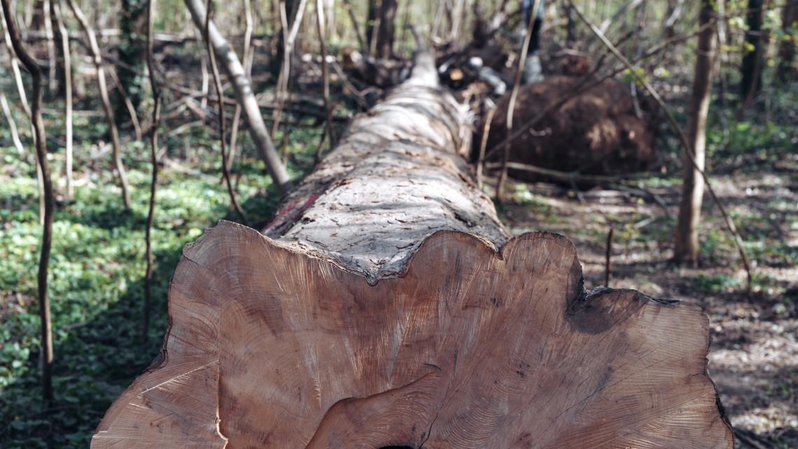 Töb tucat fát vágtak ki egy Balaton-parti városban: lefagytak a látványtól a helyiek