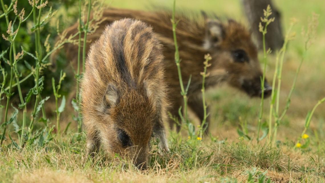 Figyelem, csak óvatosan az erdei túrákkal: épp most van a vaddisznók ellési időszaka!