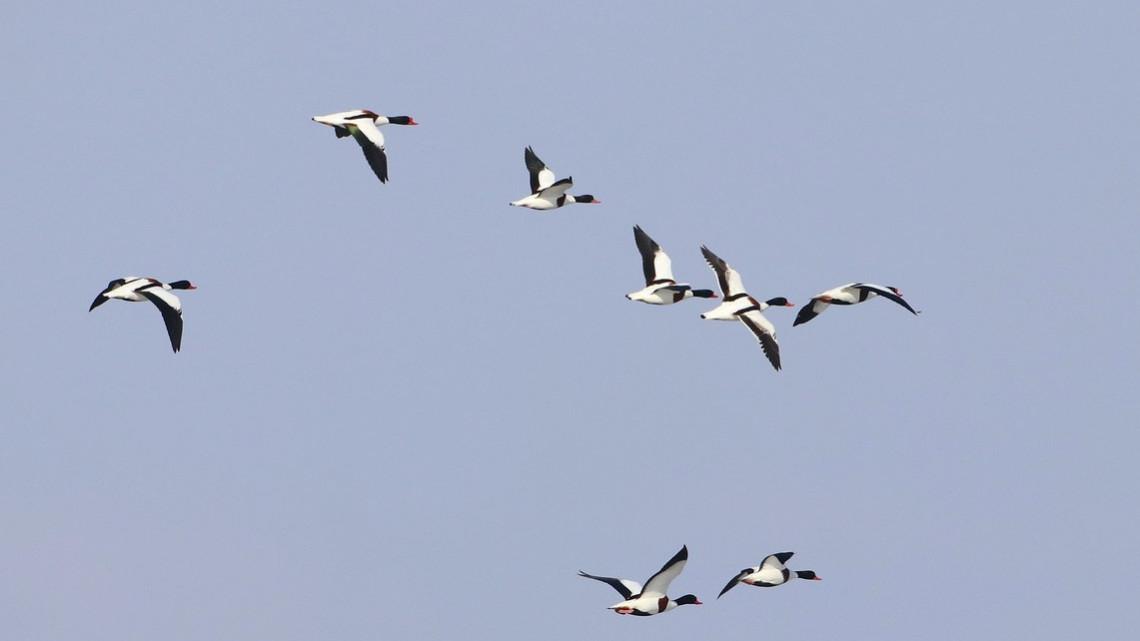 Csodaszépek: fentűnő tollazatú vízimadarak vendégeskednek épp a Hortobágyon