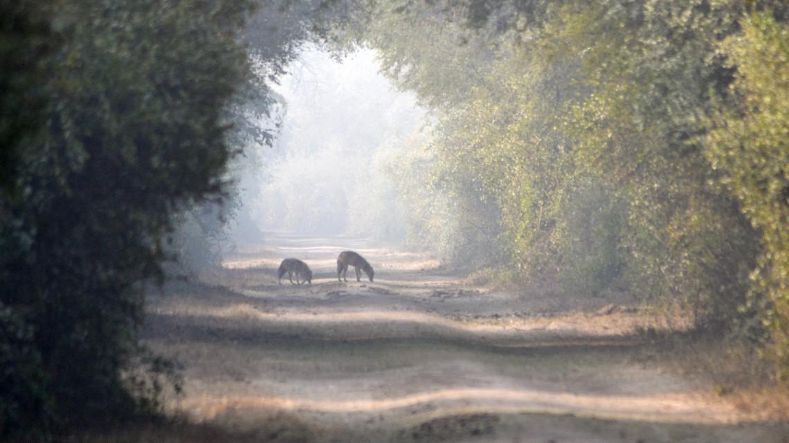 Ez a vadállat Magyarország csúcsragadozója: a Balatont is letarolja