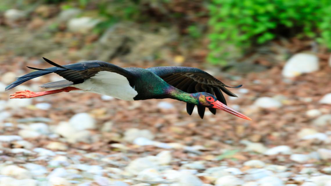 Fantasztikus videó: így érkezett meg az első fekete gólya a gemenci fészekbe