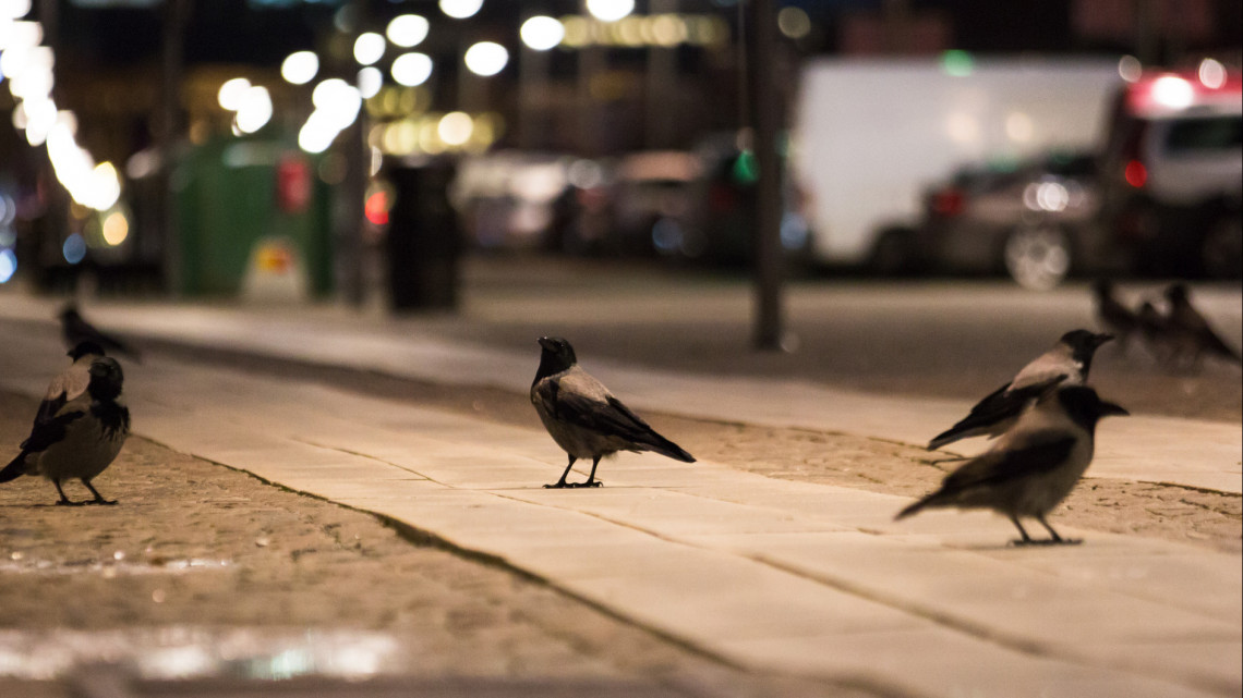 Ellepték a varjak a népszerű balatoni üdülővárost: ez áll a háttérben