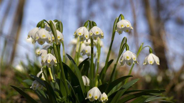 Csodájára járnak ezeknek a helyeknek: vidéki erdők, amiket elleptek a tavaszi virágok