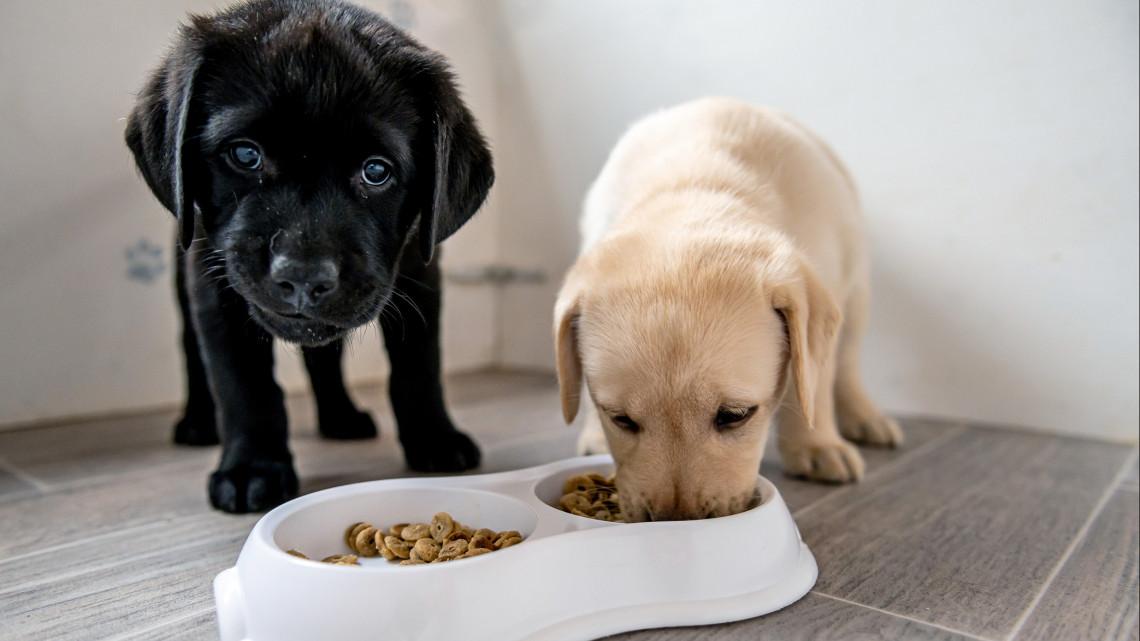 Nemcsak őrületesen cukik, de életeket is menhetnek: íme, a jövő vakvezető kutyái + VIDEÓ