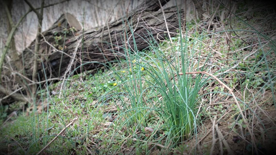 5+1 tavaszi vadnövény, ami ételként is fogyasztható: a bükki füvesember ezeket ajánlja