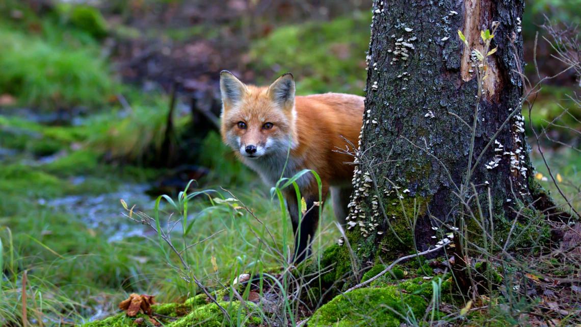 Ölőcsapdák várnak a rókákra, aranysakálokra ezen a környéken: a kutyásokat is figyelmeztetik