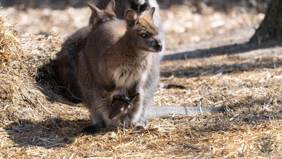 Új lakóval bővült a Debreceni Állatkert: ismét Bennett-kenguru született