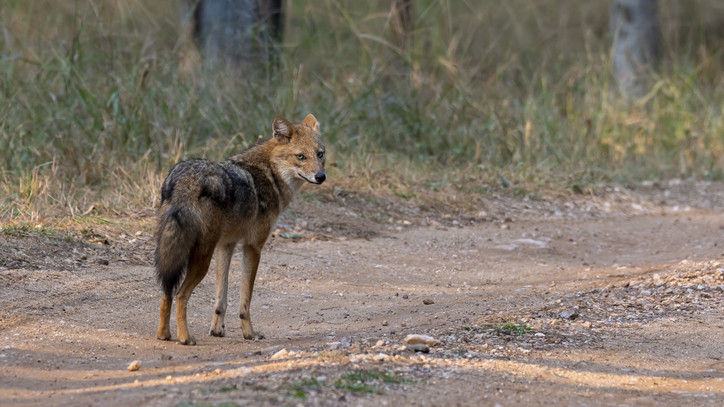 Elképesztő milyen állatok bukkantak fel Szabolcsban: egyre sürgősebb a ragadozók gyérítése