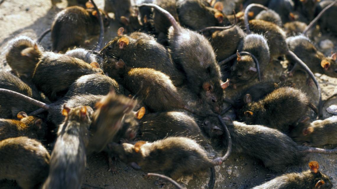 Ezzel az ősi módszerrel számolják fel a patkányinváziót a vidéki Magyarországon