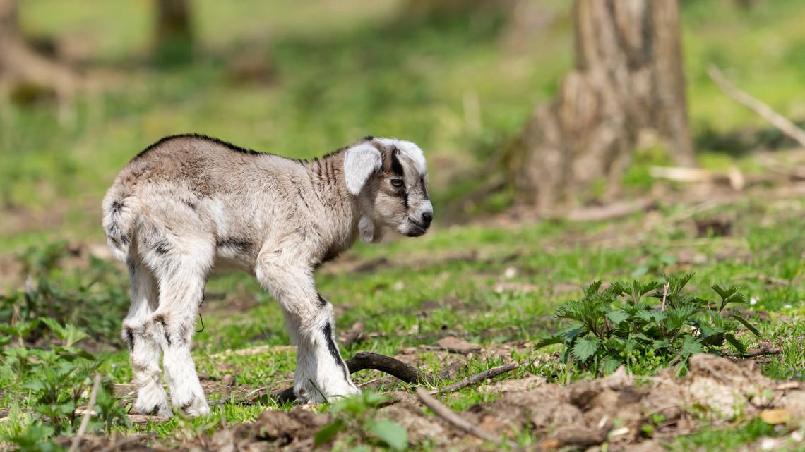 A nap cukiságai: édes kis ikergidák születtek a vidéki állatkertben