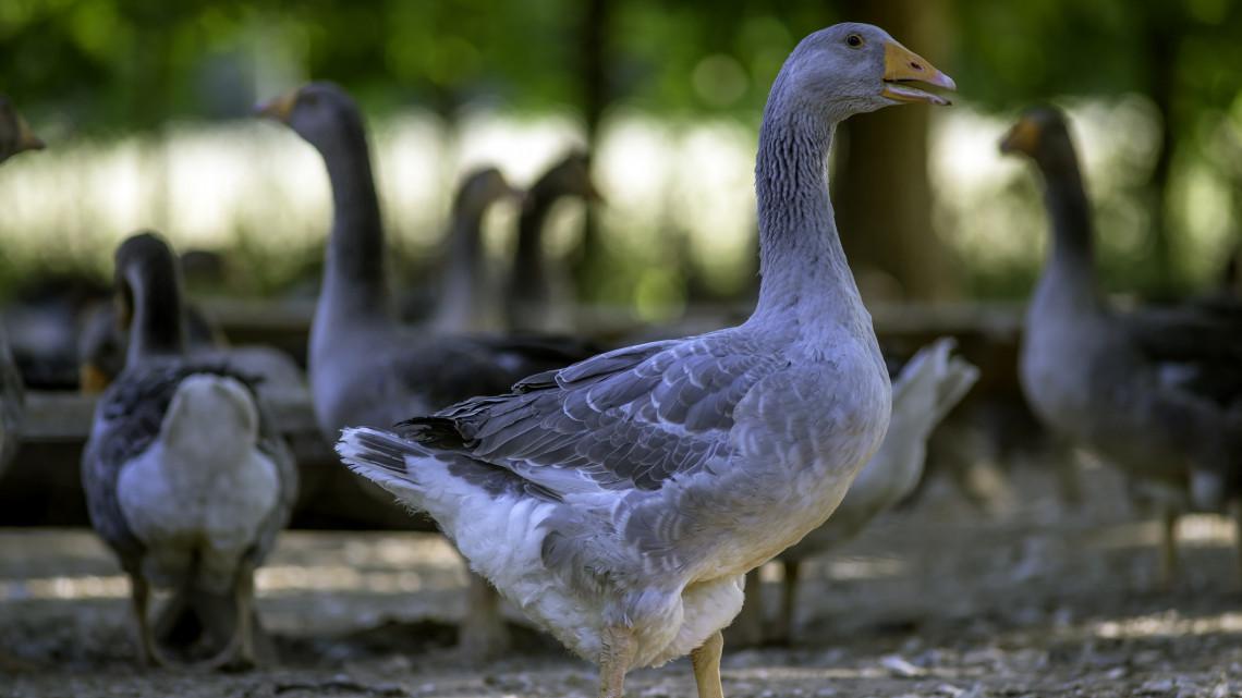 Megőrülnek az orosházi kacsamájért a külföldiek: a japánok is ezt eszik
