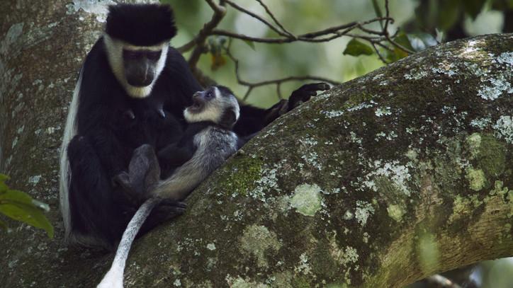 Új lakóval bővült a Nyíregyházi Állatpark: a Zászlósfarkú gereza született