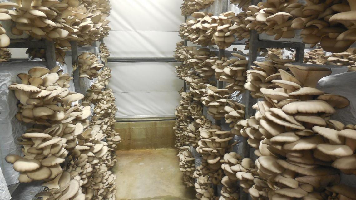 Meglepő dolog derült ki a magyar gombáról: hamar egy vagyont kaszálhatsz vele