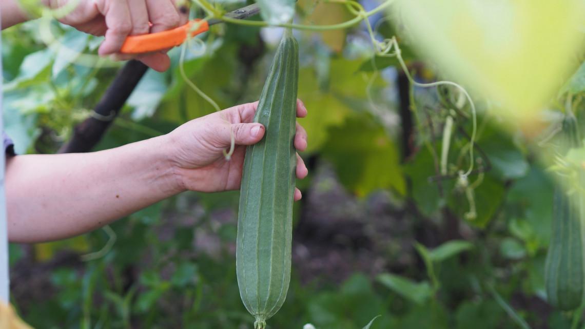 Fillérekből, saját kertedben is teremhet szivacs: ezért is lett őrült nagy divat a luffatök