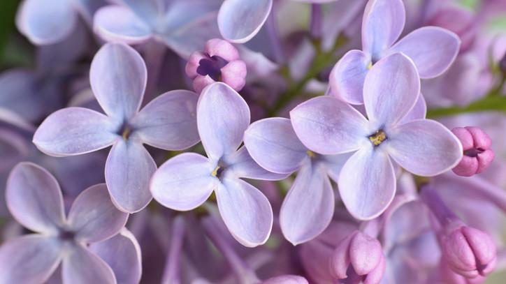 Verhetetlen immunerősítő a magyar kertek legkedveltebb virága: így használd fel