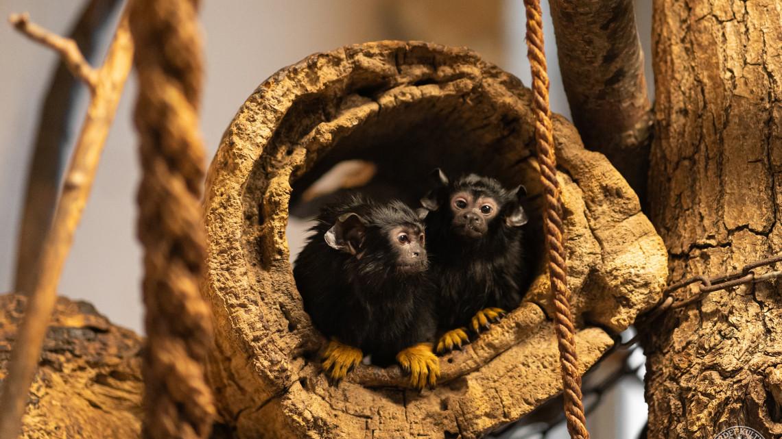Hihetetlenül cuki párocska: menyasszony érkezett a vidéki állatkert fiú tamarinjához
