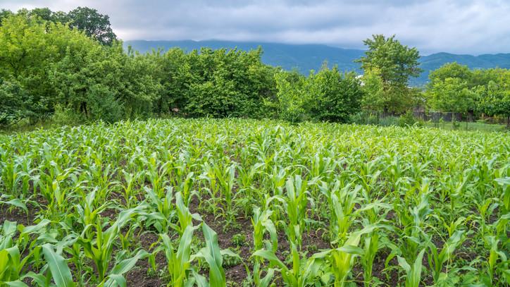 Optimisták a termesztők: nagyon jó hozamra számítanak ebből a növényből