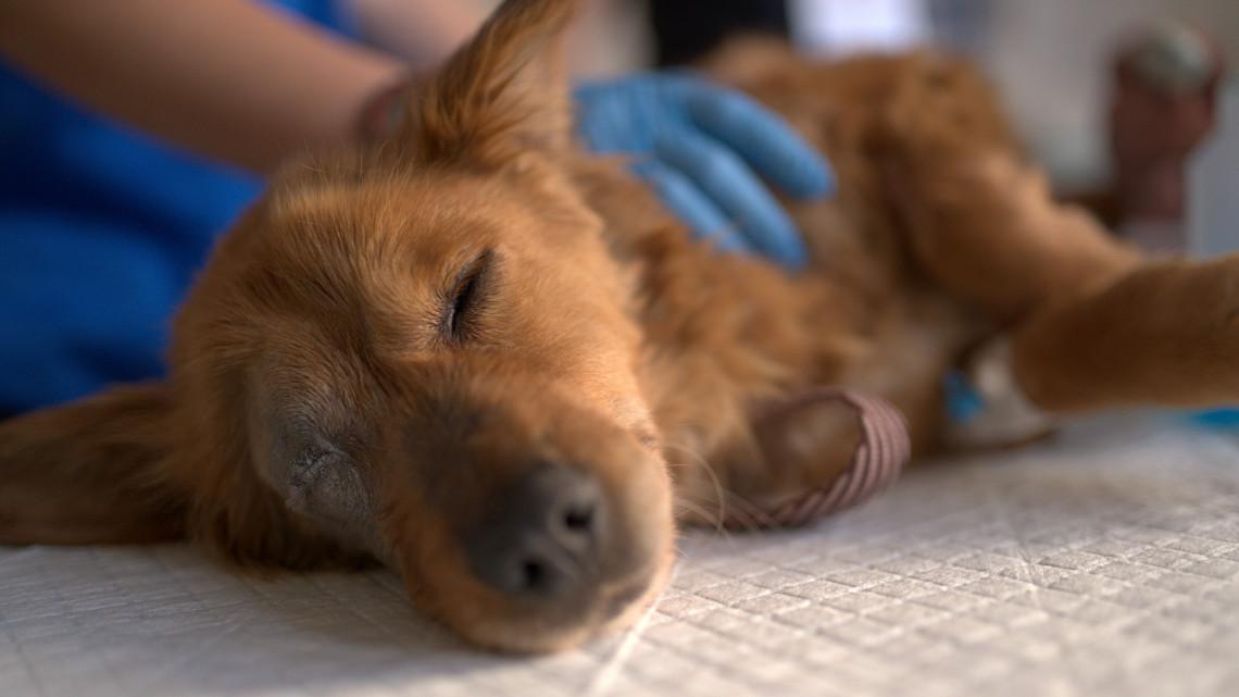 Fejlemények a kutyák lebénulásában: megoldódhat a rejtély, mitől szenvednek