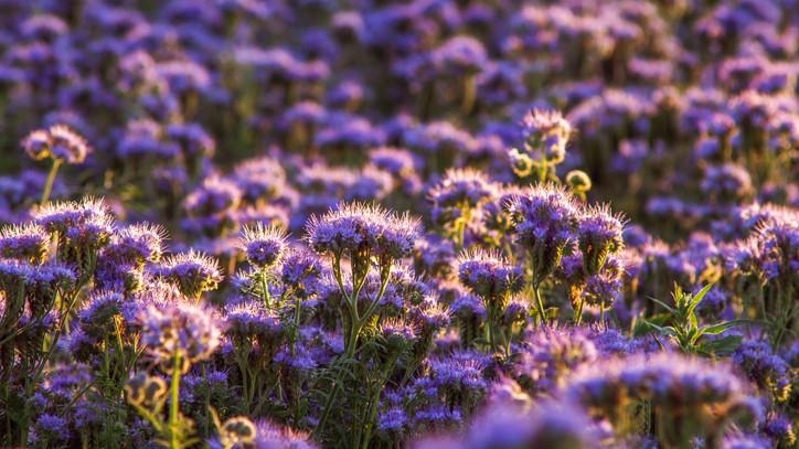 A méhészek megőrülnek ezért a virágért: rengeteg jótékony hatása van, de kevesen ismerik